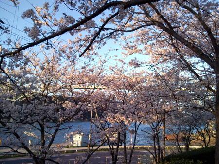 H22お台場公園の桜1