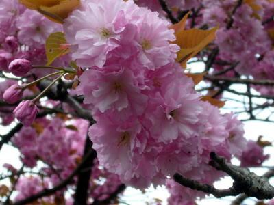 八重桜の花1
