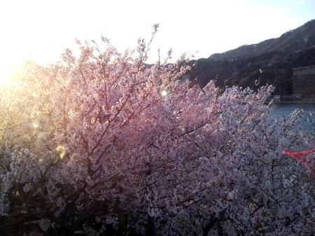 H22お台場公園の桜2