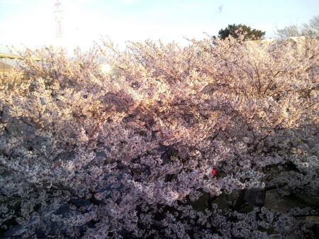 H22お台場公園の桜3