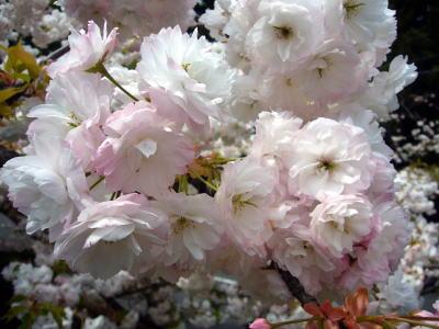八重桜の花2