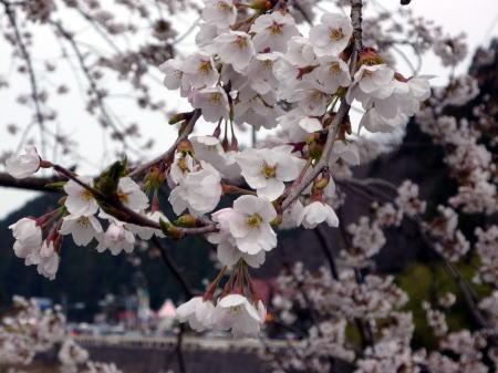 新庄がいせん桜祭5