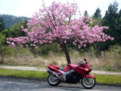 八重桜とZZR7