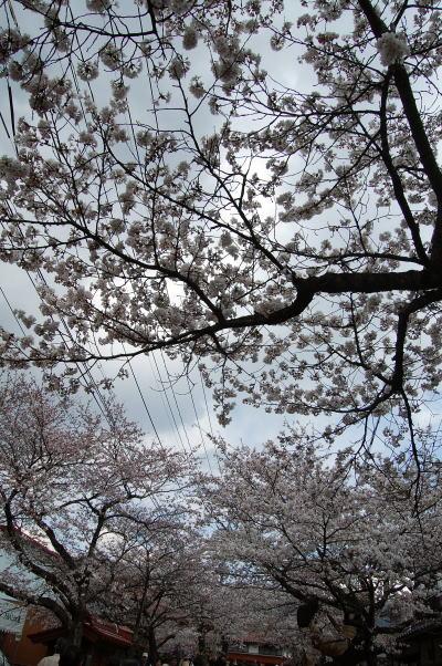 新庄がいせん桜2