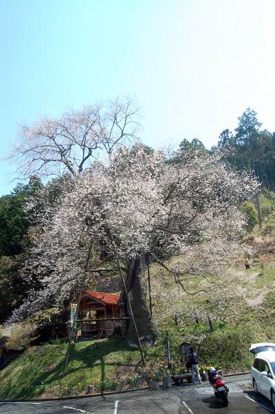 岩井畝の大桜1