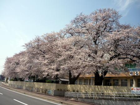 大根島の小学校の桜
