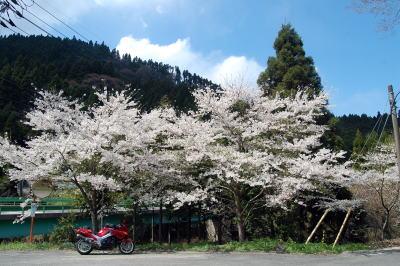 道なりの桜1