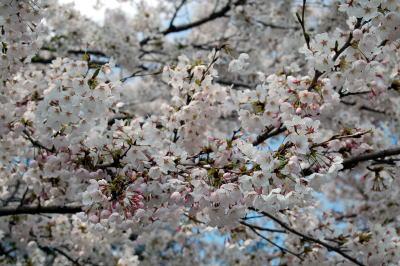道なりの桜2