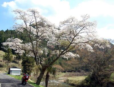 道なりの桜3