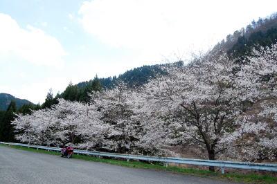 道なりの桜4