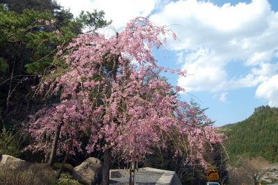 間地峠の桜1