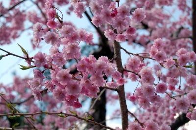 間地峠の桜2