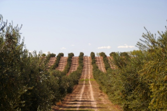 CalSaboiの広大なオリーブ畑