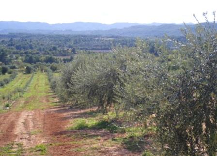まだ育てて1年くらいの小さなオリーブの木があるオリーブ畑