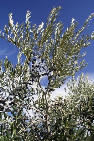 真っ黒に熟したアルベキーナ種のオリーブの実