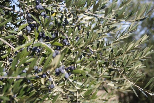 たわわになるアルベキーナ種のオリーブの実