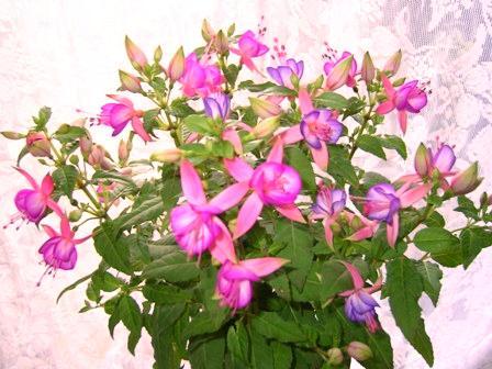 フクシア <女王様の耳飾り>の異名を持つ夢色のお花です。