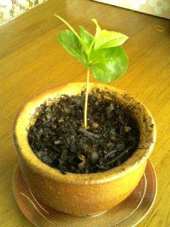 Coffeeの木1