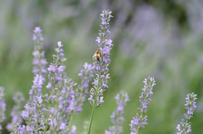 201007ラベンダー畑&bee