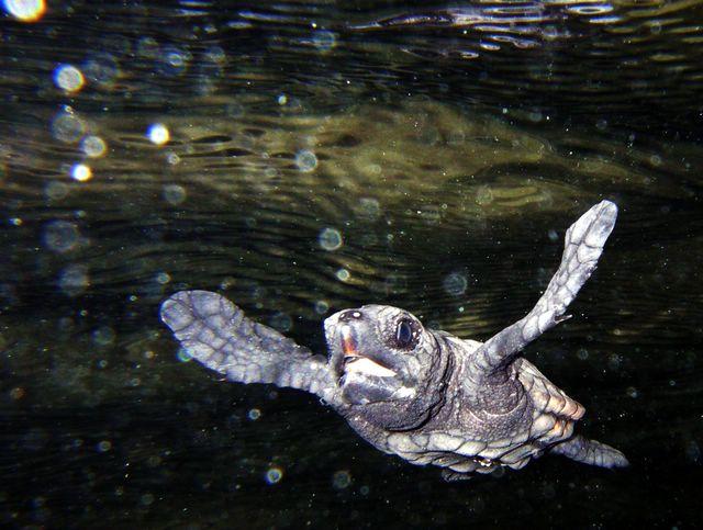 '06年、米原ビーチで孵化し、海へと降ったアカウミガメの赤ちゃん
