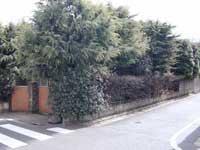 ヒマラヤスギ2.jpg
