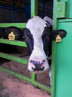 伊香保牧場 牛