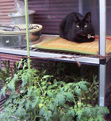 プチトマトと黒猫ち