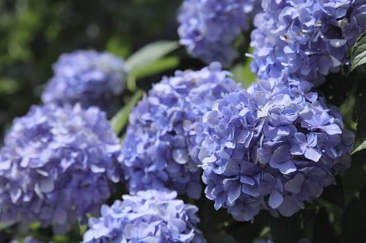 平成22年7月 妙本寺(紫陽花)