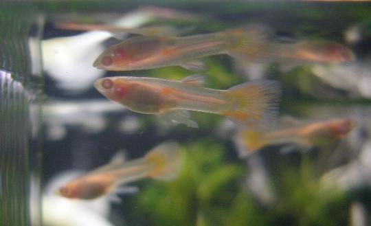 グッピー稚魚(オス) 2,27