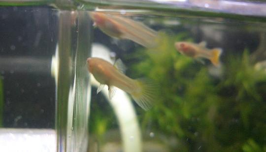 グッピー稚魚(メス) 2,27