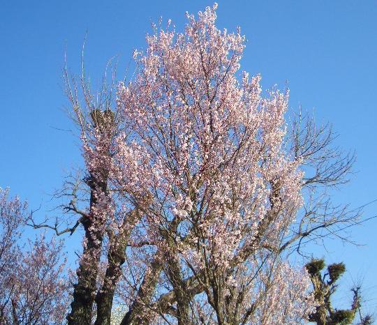桜 4,16