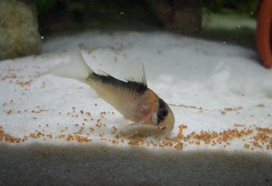 デュプリカレウスの稚魚 3,6