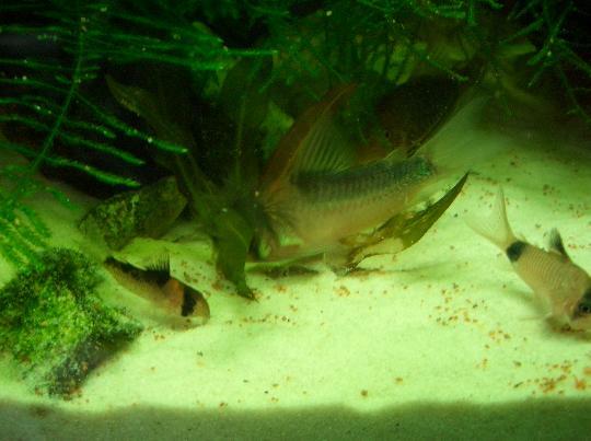 デュプリカレウスの稚魚 1,23