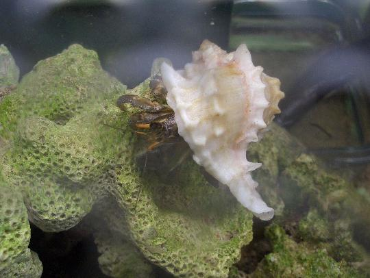 綺麗な貝殻にお引越しした萌黄 8,19