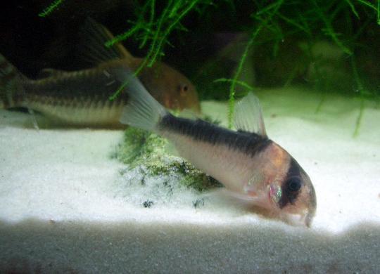 デュプリカレウスの若魚 6,21