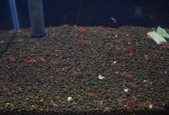 30cm水槽のストロベリーシュリンプたち 1,22