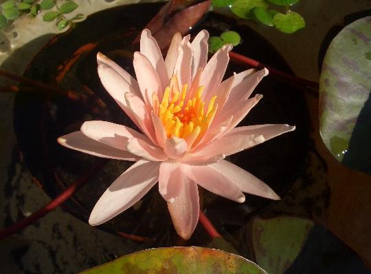 ピンクのスイレンの花 8,18