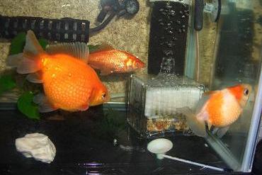 金魚たち 12,28