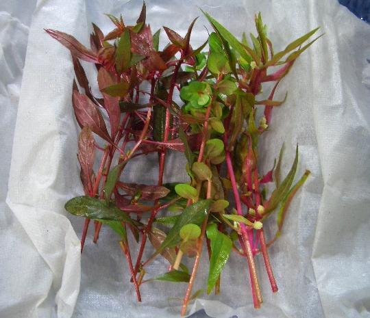 おまかせ赤系水草3種×5本 9,14