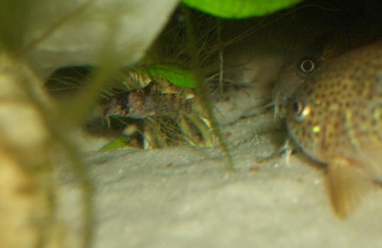 デュプリカレウス稚魚 4,16