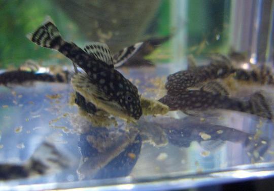 ミニブシ稚魚の餌食い 10,13