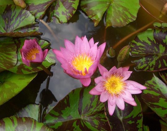 熱帯性スイレン クイーン・オブ・サイアムの花 8,16
