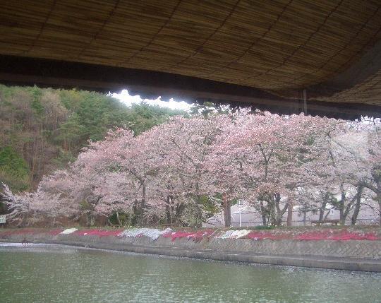 半分葉桜 5,1