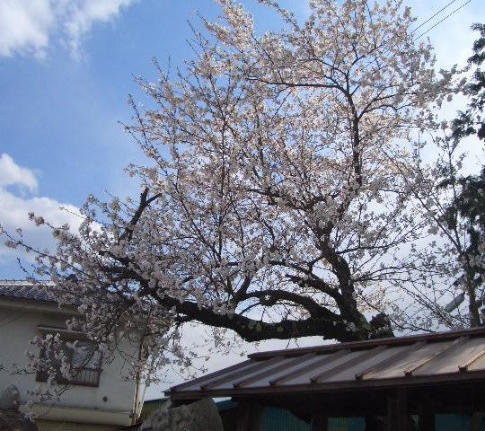 桜 4,24