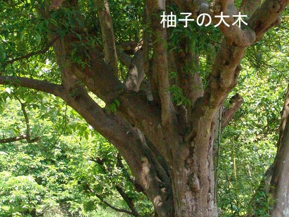 柚子の大木