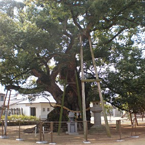 東院の御神木「大楠」