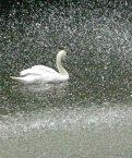 池の水鳥達 白鳥