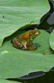 大賀ハスの葉に乗る蛙