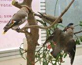 鳥の博物館のジオラマ展示(キレンジャク)