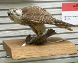 鳥の博物館のジオラマ展示(チョーゲンボー)